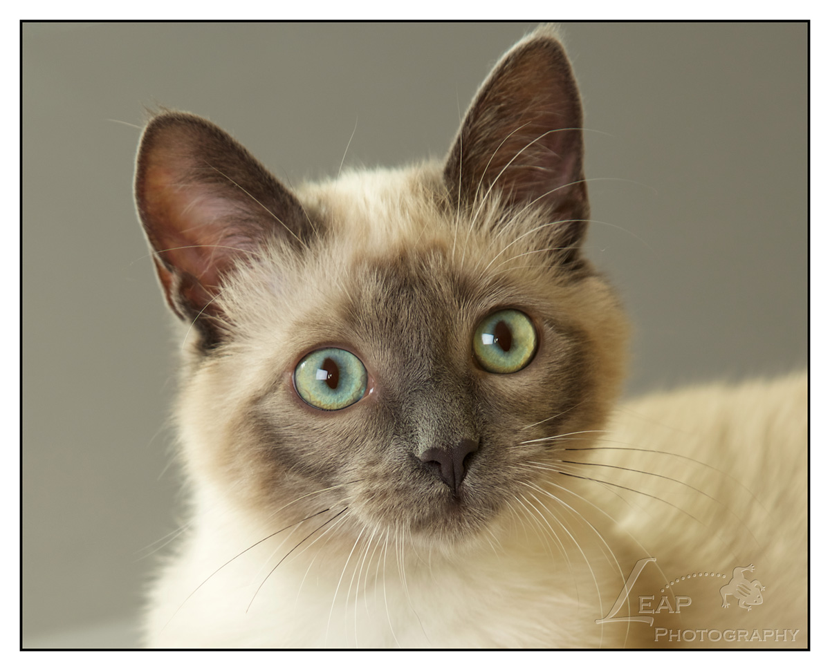 Closeup of Siamese kitten with green eyes