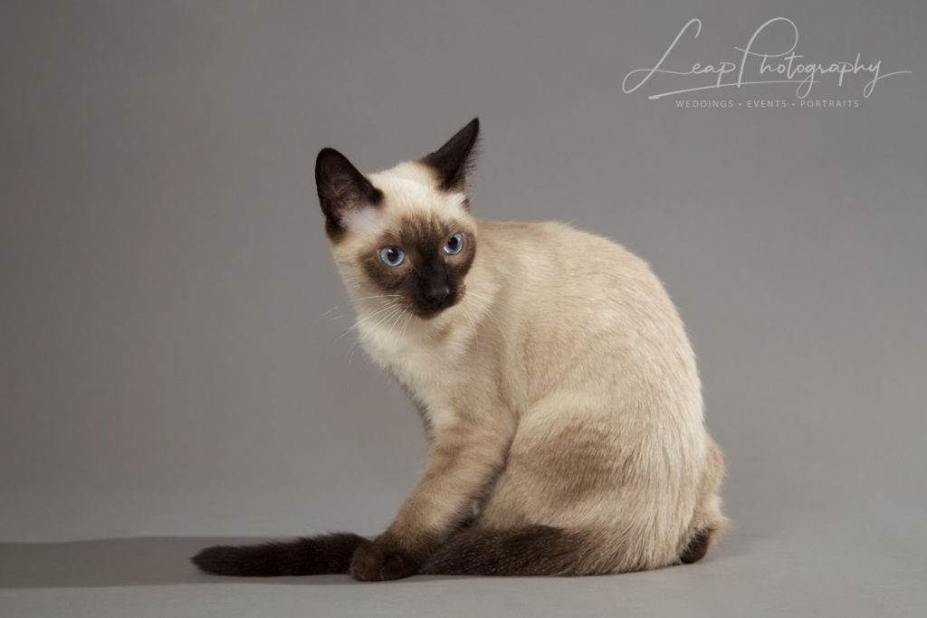 siamese kitten sitting
