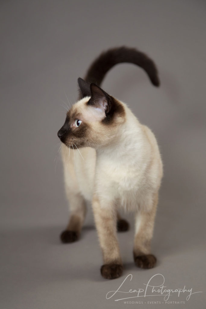 siamese kitten standing looking left