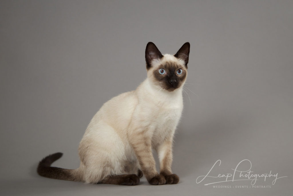 siamese kitten sitting looking at the camera